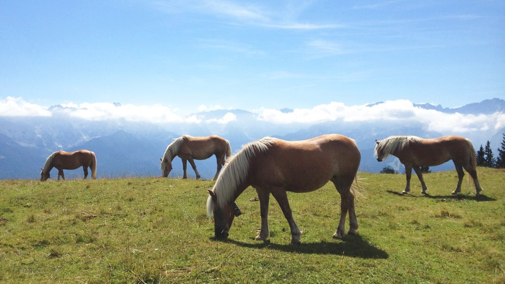 Haflinger Pferde am Wank bei Garmisch
